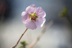 南アフリカの花・アニソドンテアの写真素材 [FYI04776972]