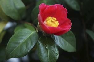 椿・ヤブツバキの花の写真素材 [FYI04776980]