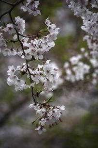桜・散り始めた染井吉野の花の写真素材 [FYI04776981]