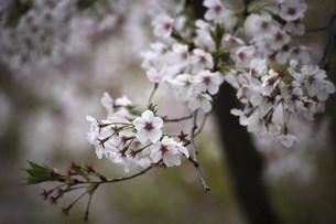 桜・散り始めた染井吉野の花の写真素材 [FYI04776982]