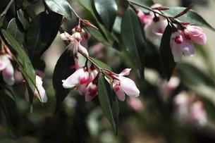 椿・小さなエリナの花の写真素材 [FYI04777021]