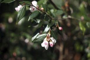 椿・小さなエリナの花の写真素材 [FYI04777022]