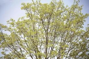 ヒトツバタゴの若葉の写真素材 [FYI04777030]