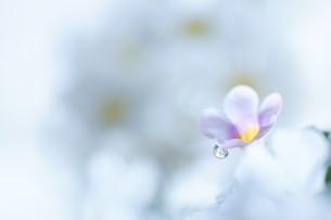 白い小さな花の写真素材 [FYI04777032]