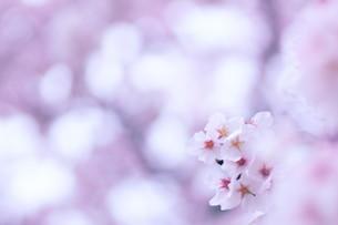 淡い色の背景の桜の写真素材 [FYI04777036]