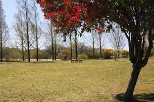 公園のベニカナメモチの写真素材 [FYI04777062]