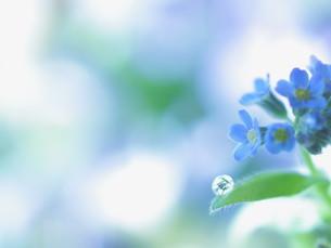 爽やかな背景のワスレナグサと水滴の写真素材 [FYI04777312]
