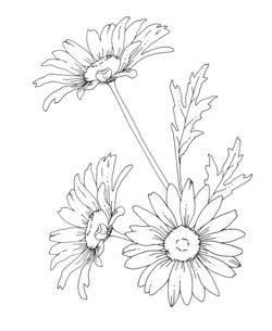 デイジーの花 手描き線画イラストのイラスト素材 [FYI04777411]