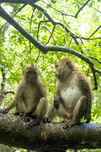 ランカウイ島の野生の猿の写真素材 [FYI04777421]