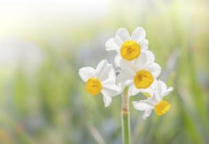 野原に咲くニホンスイセンの花の写真素材 [FYI04777430]
