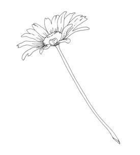 デイジーの花 手描き線画イラストのイラスト素材 [FYI04777441]