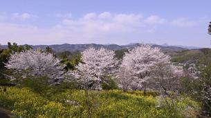 菜の花畑と桜並木の写真素材 [FYI04777645]
