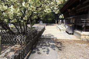 神社のウコンザクラの写真素材 [FYI04777649]