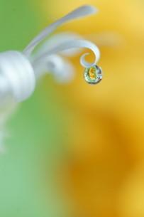 黄色と緑色の背景にカールしたアークトチスグランディスの花びらに水滴の写真素材 [FYI04777820]