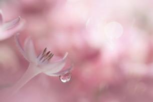 ピンクの背景にピンクのペンタスの写真素材 [FYI04777829]