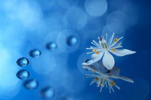 横構図の青い背景にバイカオウレンと水滴の写真素材 [FYI04777861]