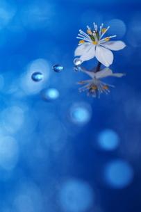 縦構図のバイカオウレンと水滴の写真素材 [FYI04777878]
