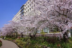 満開の桜で賑わう目黒川緑道(東邦大学大橋病院の脇)の写真素材 [FYI04777911]