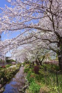 満開の桜で賑わう目黒川緑道(東邦大学大橋病院の脇)の写真素材 [FYI04777913]