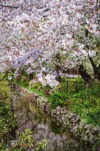 満開の桜で賑わう目黒川緑道(東邦大学大橋病院の脇)の写真素材 [FYI04777915]