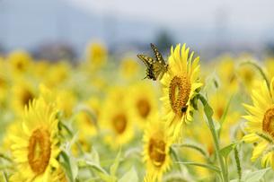 夏のひまわり畑とアゲハチョウの写真素材 [FYI04777916]