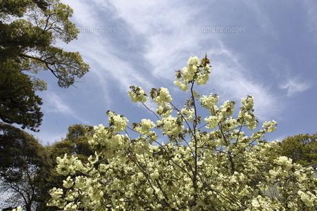 青空とウコンザクラの写真素材 [FYI04778033]