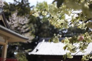 神社のウコンザクラの写真素材 [FYI04778037]