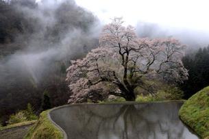 長野県阿智村智里 駒つなぎの桜の写真素材 [FYI04778051]