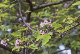 花 桜開花 不時現象の写真素材 [FYI04778379]