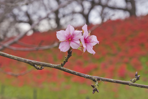 花 桜開花 不時現象の写真素材 [FYI04778380]