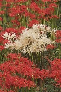 花 ヒガンバナの写真素材 [FYI04778381]