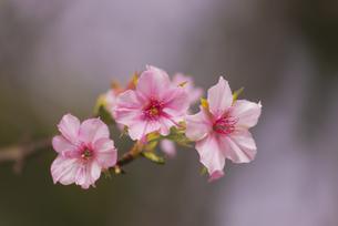 花 桜開花 不時現象の写真素材 [FYI04778383]