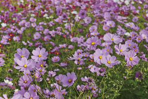 花 コスモス畑の写真素材 [FYI04778385]