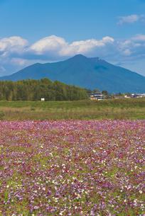花 日本百名山筑波山とコスモス畑の写真素材 [FYI04778387]