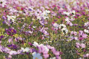 花 コスモス畑の写真素材 [FYI04778388]