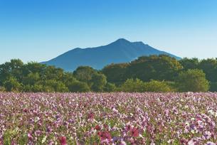 花 日本百名山筑波山とコスモス畑の写真素材 [FYI04778395]