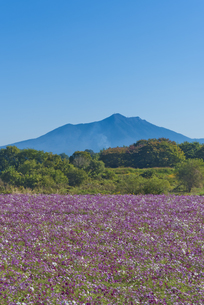 花 日本百名山筑波山とコスモス畑の写真素材 [FYI04778404]