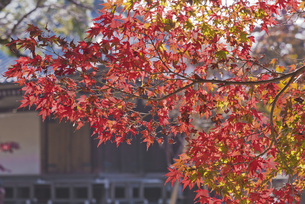 紅葉 佛法山東漸寺の写真素材 [FYI04778444]