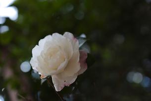 さざんかの写真素材 [FYI04778516]
