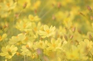 万博公園花の丘コスモスの写真素材 [FYI04778551]