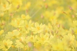 万博公園花の丘コスモスの写真素材 [FYI04778553]