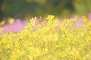 万博公園花の丘コスモスの写真素材 [FYI04778555]