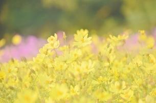 万博公園花の丘コスモスの写真素材 [FYI04778557]