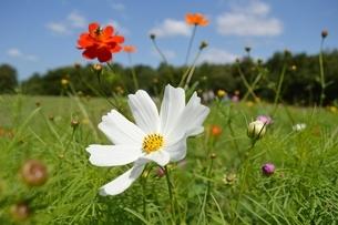 万博公園花の丘コスモスの写真素材 [FYI04778576]