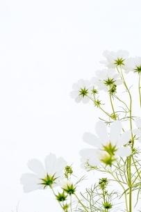 亀岡コスモス園のコスモスの写真素材 [FYI04778578]
