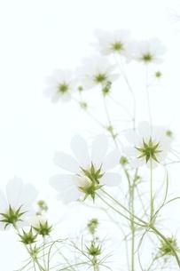 亀岡コスモス園のコスモスの写真素材 [FYI04778579]