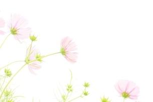 亀岡コスモス園のコスモスの写真素材 [FYI04778580]