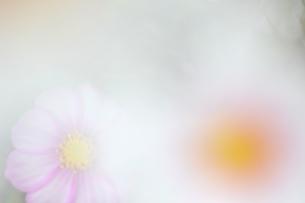 亀岡コスモス園のコスモスの写真素材 [FYI04778581]
