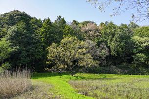 春の公園 爽やかなアシ原湿原の散策路 「神奈川県立四季の森公園」の写真素材 [FYI04778594]