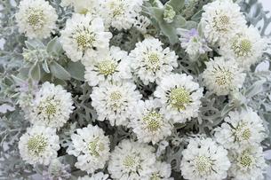 一面の白いスカビオサの花の写真素材 [FYI04778618]